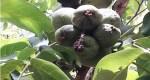 صورة من ايت سدرات: عندما يلد برعم واحد لشجرة الجوز عشرة ثمار
