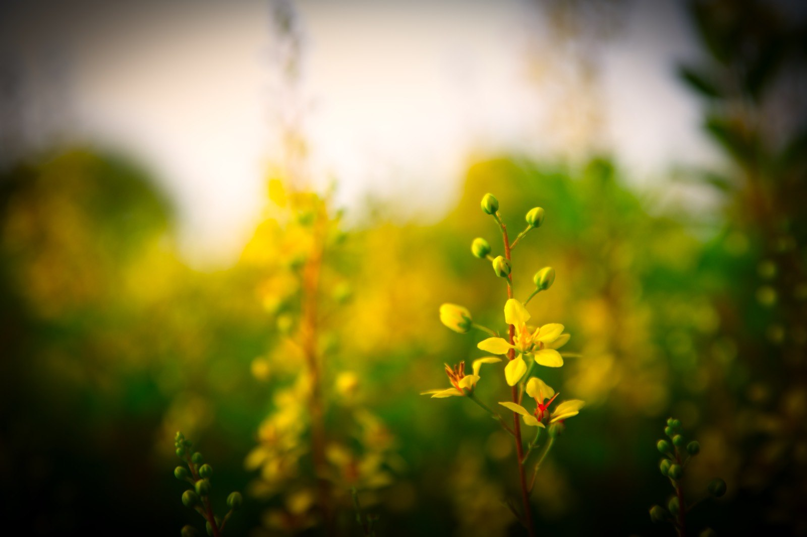 Yellow Flower Photo with Vignette Filter Applied