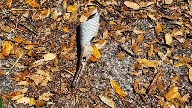 Orlando Wetlands Park Review - Scary Fish on Perimeter Trail