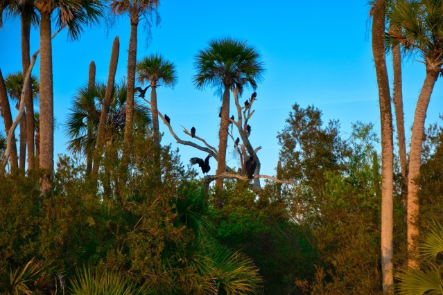 Orlando Wetlands Park Review - Vultures in the Trees