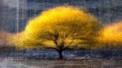 a photo impressionistic image of apple trees in fall colours photographed in the round.