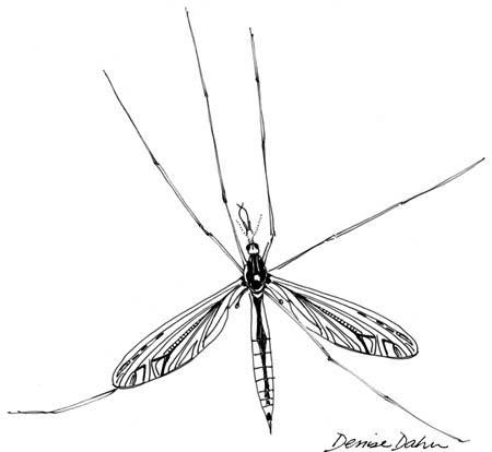 cranefly