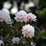 和シャクナゲの開花