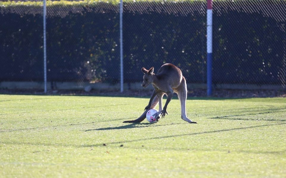 Kangaroo enters football pitch disrupts match Video