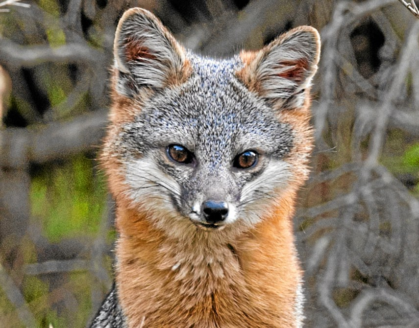 Catalina Island fox is back, but facing new challenges ...