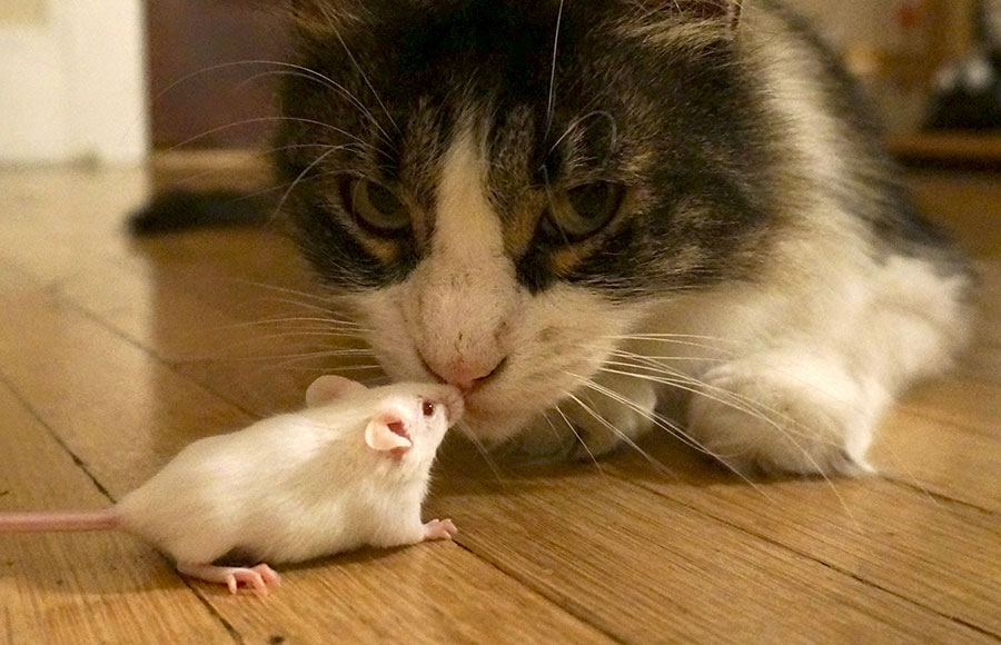 UC Berkeley researcher shows parasite removes mice's innate fear of cats |  The Daily Californian