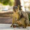 squirrel_HaydenIrwin