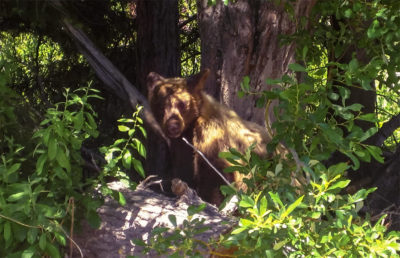 Photo of a golden bear