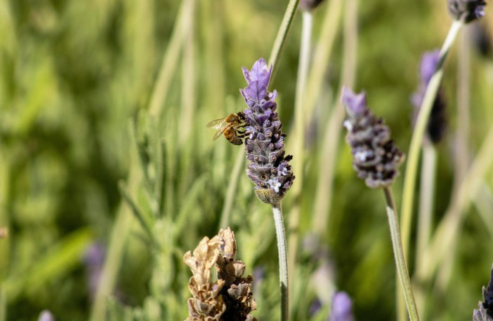 Photo of a bee and lavender stock