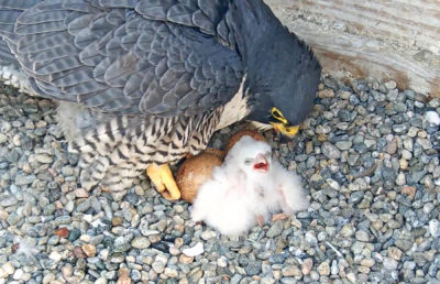 Image of baby falcon