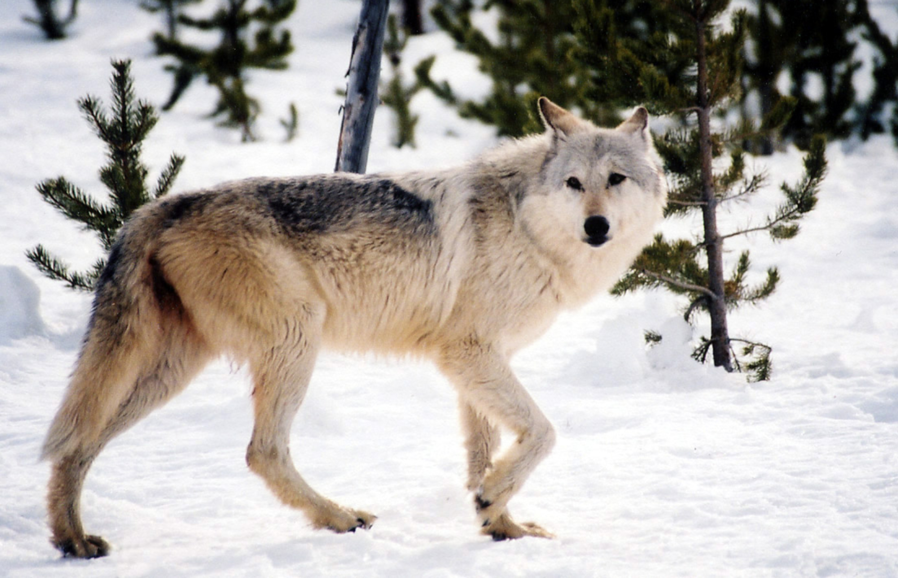 Silenced howls: The reemergence of the war on wolves