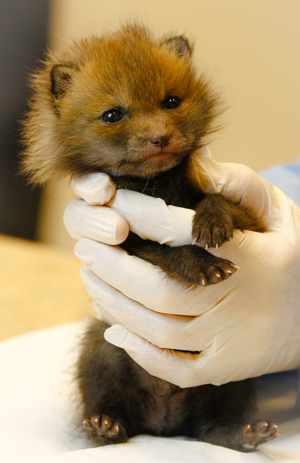 Greenwood Wildlife urges Boulder County residents to cover window wells for foxes