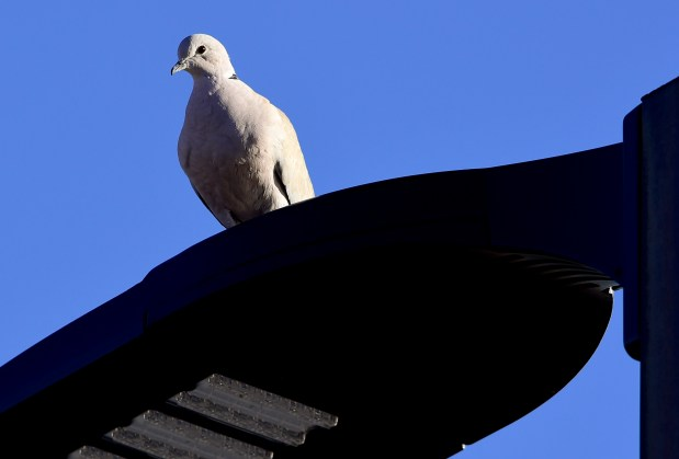 Eurasian Collared Dove in Boulder on ...