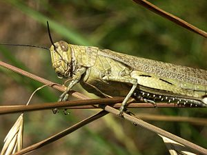 Egiptian grasshopper (Anacridium aegyptium) (Photo credit: Wikipedia)