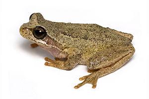English: A Tasmanian Brown Tree Frog (Litoria ewingii) Français : Une rainette brune de Tasmanie. (Photo credit: Wikipedia)