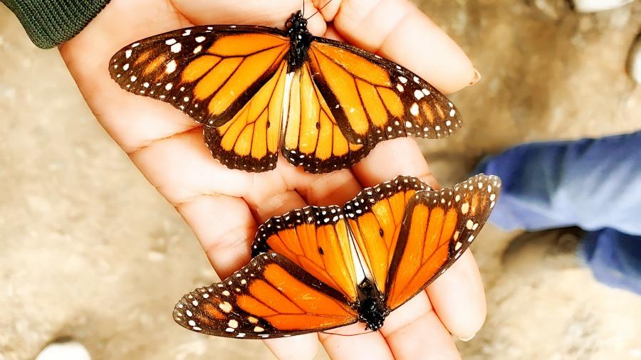 Visita a las mariposas monarcas en Mexico -TIPS