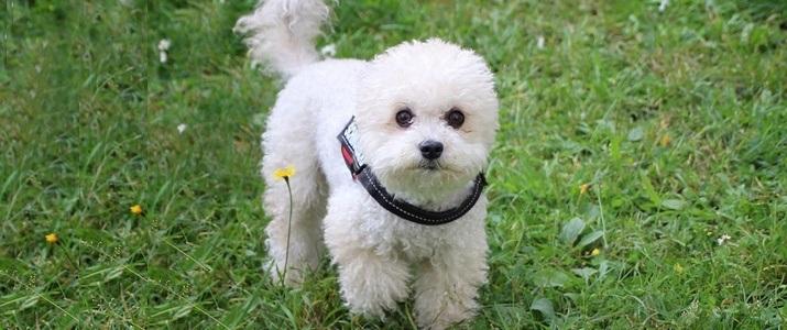 high quality dog food for poodles