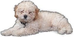 poodle health concerns