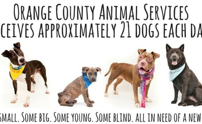 Adoptable Dogs From Orange County Animal Services Orlando Fl Daily Dog Tag