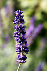 Supplementing with Lavender