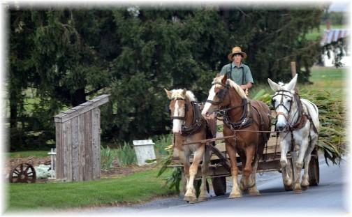 Amish corn harvest 9/14 (Photo by Doris High)