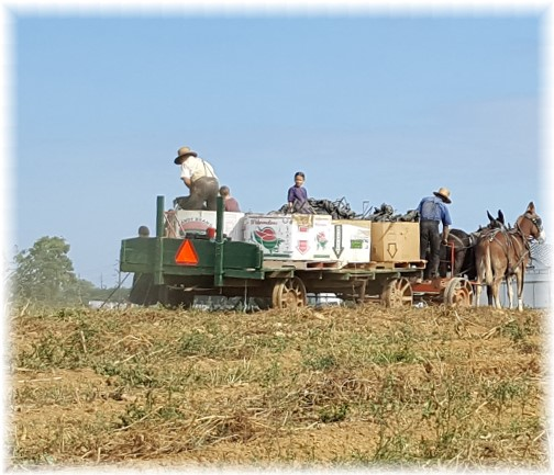 Amish family at harvest time 9/16/16