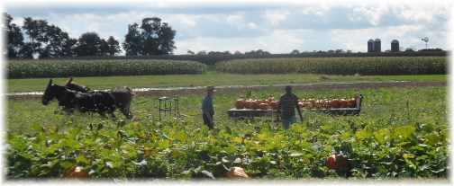 Amish pumpkin harvest (click for larger photo)