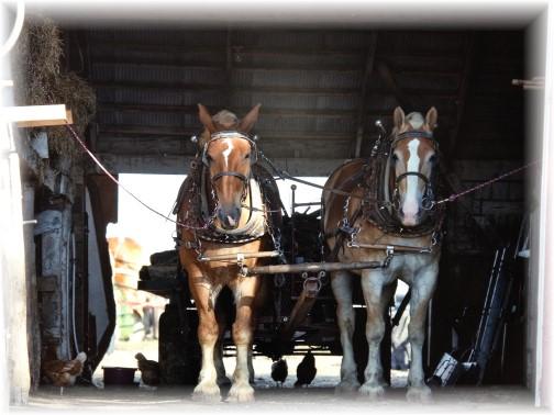 Amish team in barn