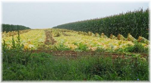 Amish tobacco harvest with shocks