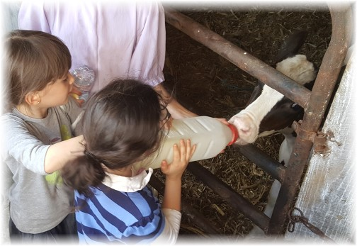 Jewish girls bottle feeding calf 7/20/16