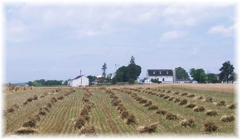 Wheat shocks