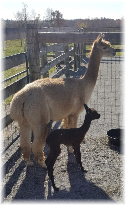 Eastland Alpaca farm 11/13/16