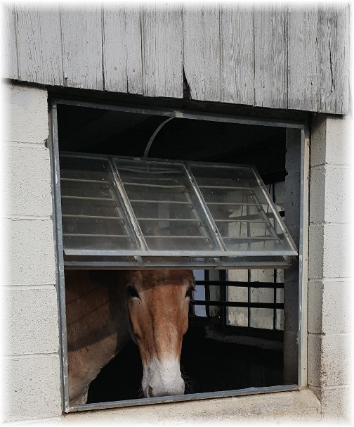 Team mule in Amish barn 4/13/17