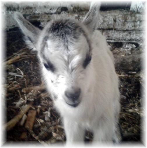 Newborn goat on Old Windmill Farm 8/10/17 (Photo by Jesse Lapp)