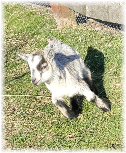 Baby goat on Amish farm 2/28/17