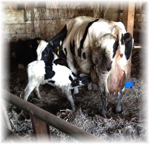 A newborn calf's first nursing 10/14/15