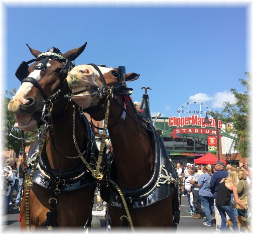 Clydesdale horses at Clipper Stadium 9/10/17