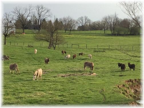 Donkeys in pasture (Phil Huber)