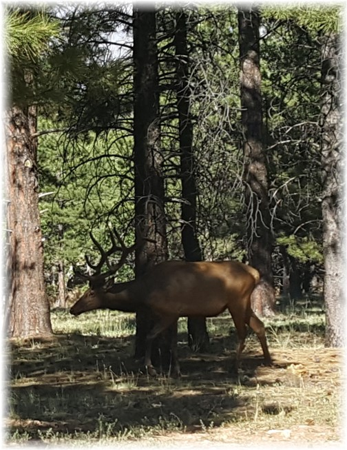 Grand Canyon deer 7/6/16