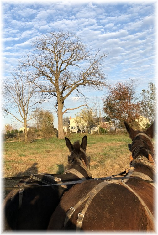 Horses watching eagles on Old Windmill Farm 11/12/17