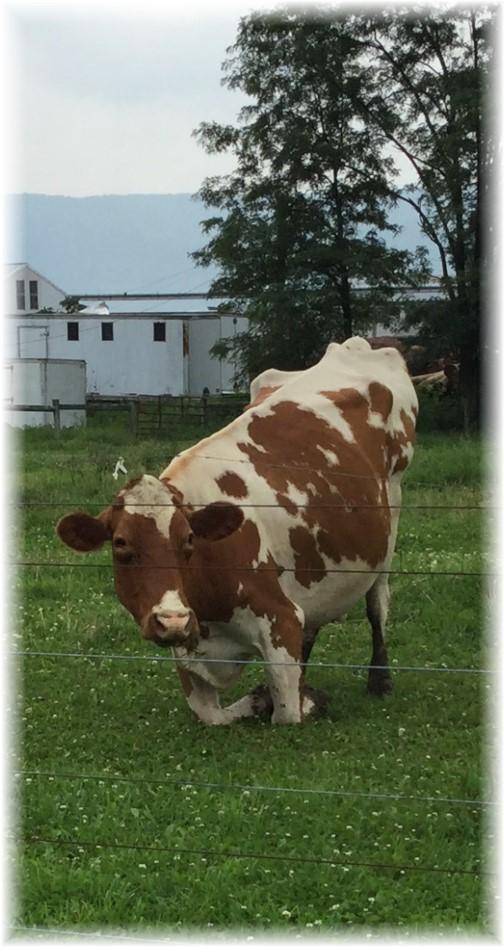 Kneeling cow in Big Valley 7/7/15