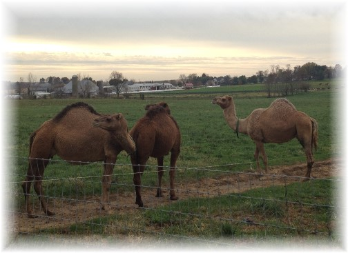 Lancaster County camels 11/5/14