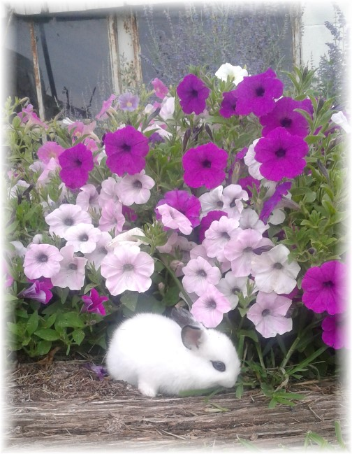 Old Windmill Farm bunny and flowers (Photo by Jesse Lapp)