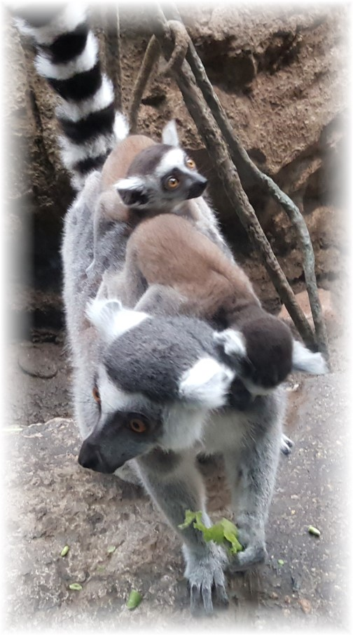 Ring-tailed Lemur 6/15/16 (Boston Zoo)