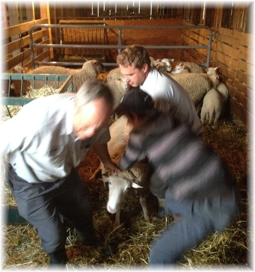Sheep shearing at Rutt farm 4/21/15