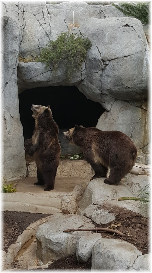 San Diego Zoo Grizzly Bears 10/24/16