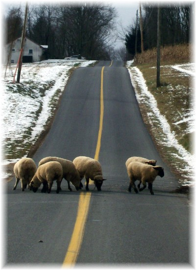 Sheep on Echo Valley Road