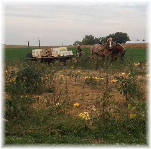 Butternut Squash harvest 9/29/14