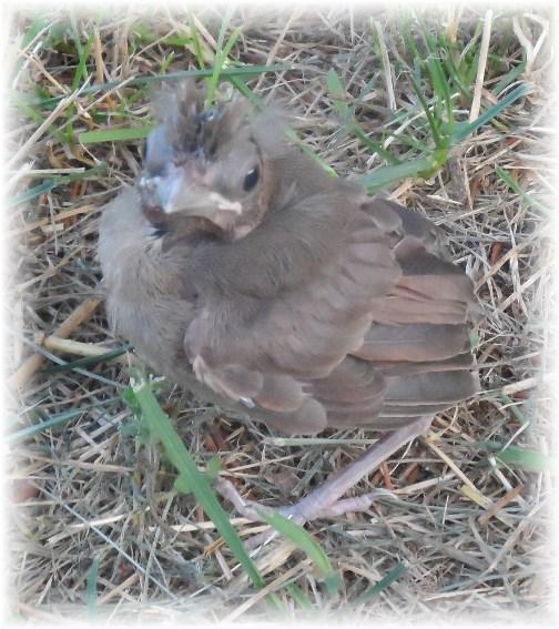 Baby cardinal 6/24/13