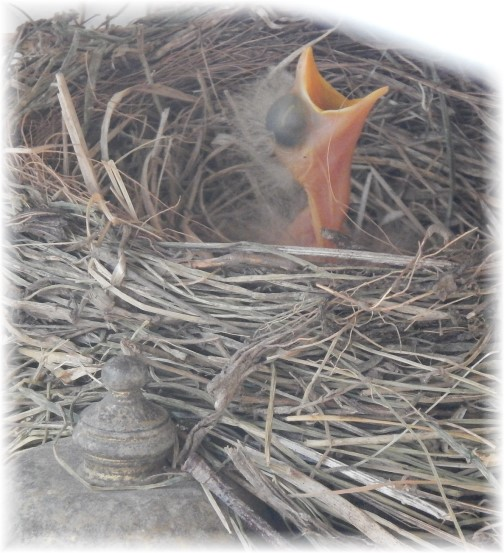 Baby robin 5/17/15